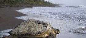 Sea turtle in Tortuguero National Park, Costa Rica