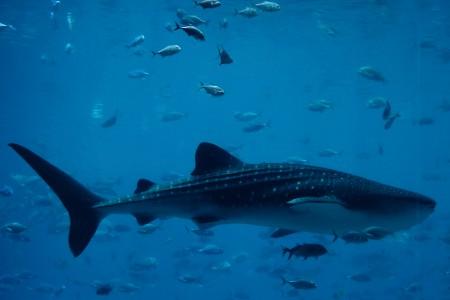 whaleshark.credit.popo