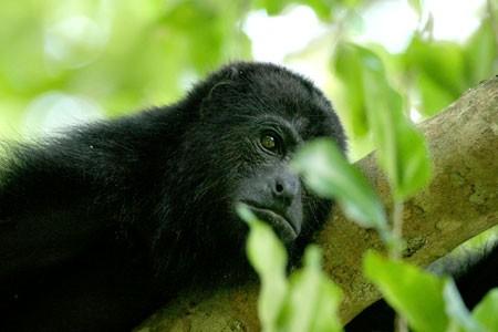 Monkey Nature Wildlife in Guatemala Belize Nicaragua Costa Rica