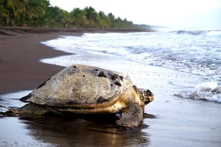 Tortuguero Turtle Costa Rica
