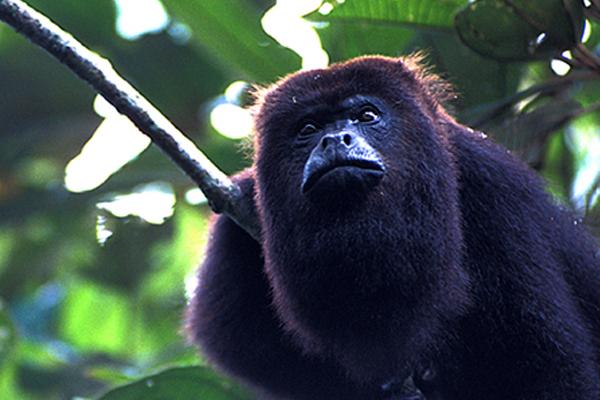 howler monkey belize baboon