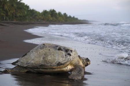 Nesting-Sea-Turtle-2-450x300