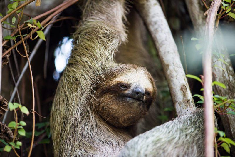 Sloth, Tortuguero, Viaventure Costa Rica