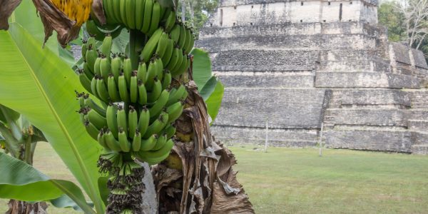 Green bananas and Mayan temple in Belize
