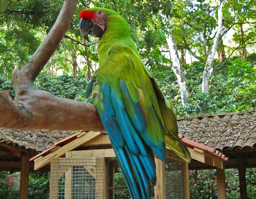macaw-copan-5