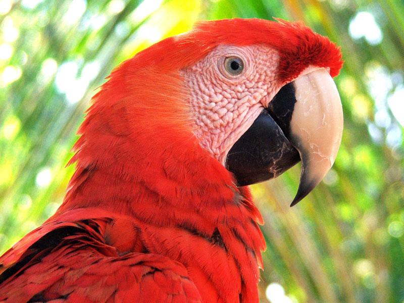 macaw-guatemala-arcas