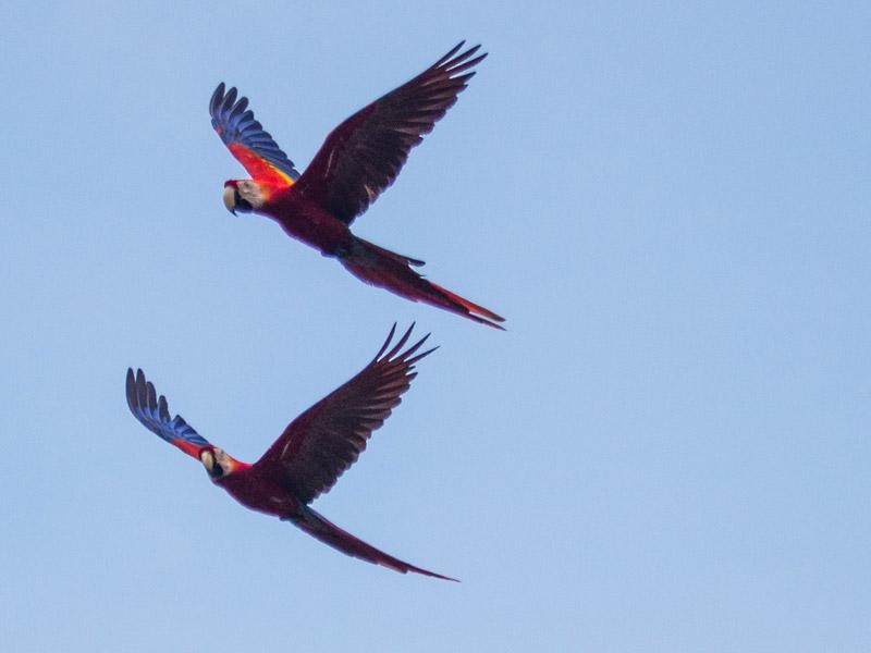 macaws-boca-tapada