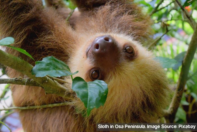 sloth-osa-peninsula-1