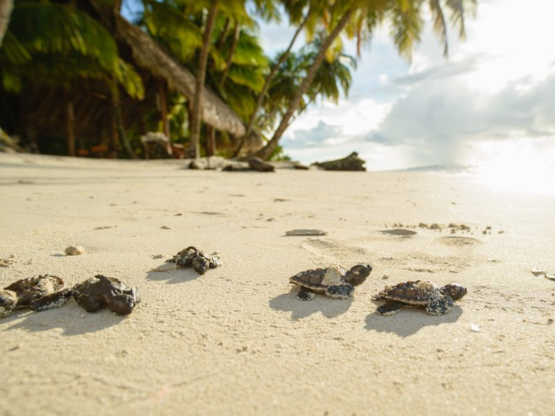 turtles-beach-calala-island