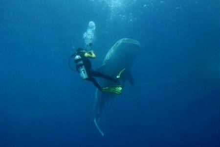whaleshark.credit.marcel2-450x300